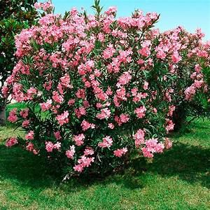 Oleander Winterhart Kaufen : lachsrosafarbener oleander xl qualit t online kaufen bei g rtner p tschke ~ Eleganceandgraceweddings.com Haus und Dekorationen