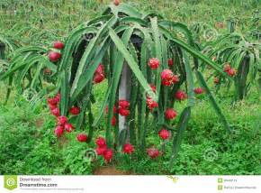 blooming cereus fruit pitahaya royalty free stock images image