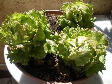 comment faire pousser des salades sur balcon