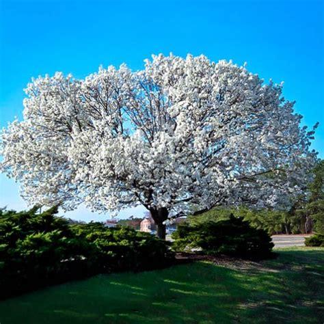 white dogwood  sale   tree center