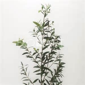 flower basket eucalyptus parvifolia flomart official