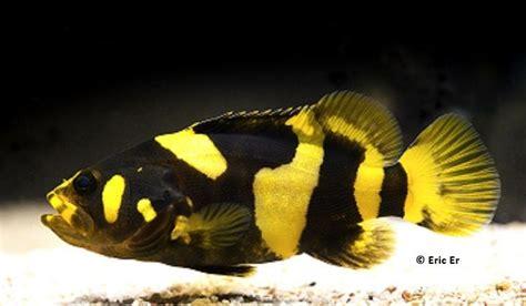 aquarium fish freshwater grouper bumblebee water tank bee cichlids saltwater brackish need fresh aquariums bumblee tanks tropical google fishing baby