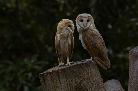 barn owl call facts about barn owls that ll make your spin