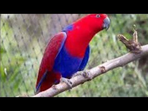 Hal ini wajar karena lovebird sendiri memiliki tiga kelompok tingkat kesulitan dalam membedakan jenis kelaminnya. INILAH Perbedaan Jantan Dan Betina Burung Nuri Merah - YouTube