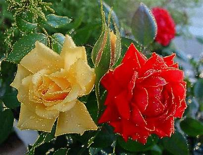 Rose Roses Scintillantes Flores Scintillante Fleurs Jolies