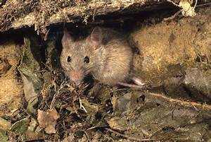 Comment Se Débarrasser Des Souris Dans Une Maison : se d barrasser des souris dans une maison taupier sur la france ~ Nature-et-papiers.com Idées de Décoration