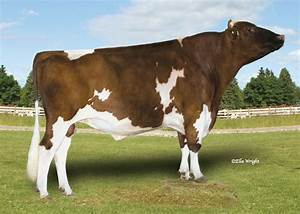 red and white holstein - Google Search | Red and white ...