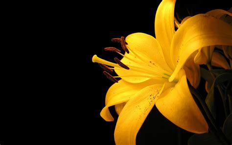 yellow flower     desktop