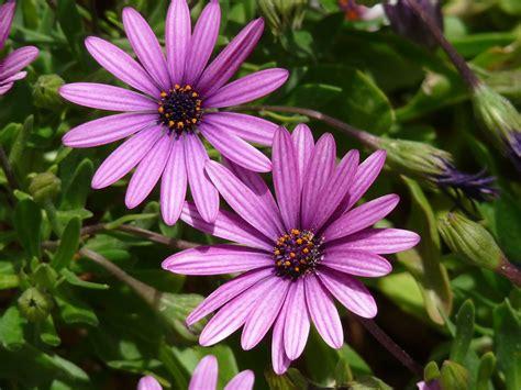 fiori selvatici viola foto gratis margherita viola fiori selvatici immagine