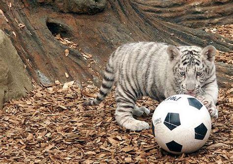 white tiger playing ball furry  pinterest