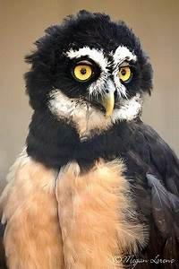 The Spectacled Owl is a nocturnal bird of prey in tropical ...