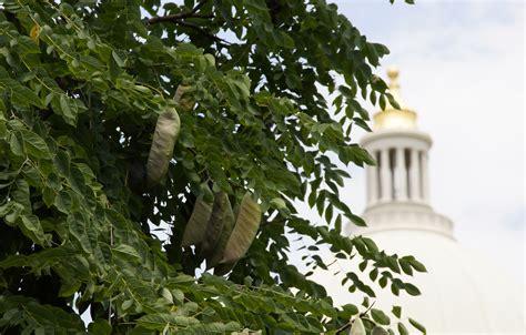 Neat Plant Alert ? Kentucky Coffee Tree Near Little Rock Capitol   Arkansas Native Plant Society