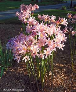 Plant a Pink Surprise Lily Bulb (Lycoris squamigera ...