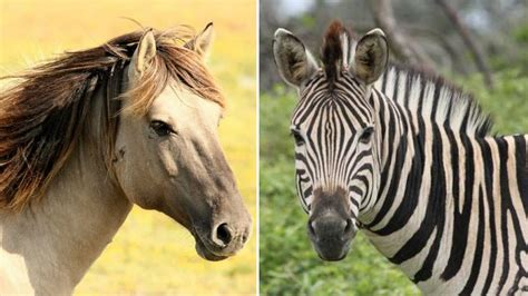 zebra horse difference between equestrian