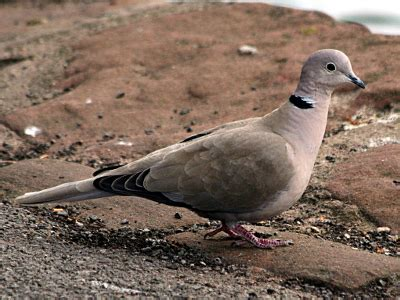 grey dove with black ring around neck the tallgrass prairie preserve docent news for september 2014