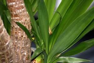 Palmen Für Drinnen : yucca palme das sollten sie bei frost beachten ~ Michelbontemps.com Haus und Dekorationen