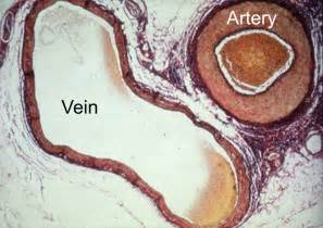 Cross Section of Arteries and Veins