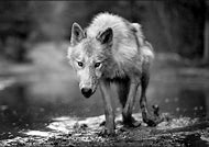 Black and White Photography Wolf