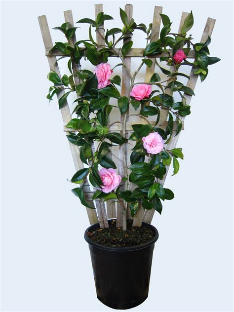 caring for camellias in pots caring for camellias in pots k k club 2017