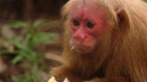 Mini Monkeys Of Brazil