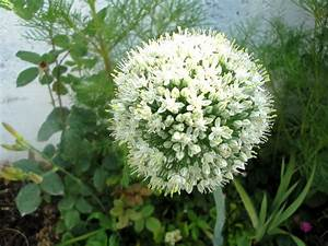 File Allium Cepa  Amol Jpg