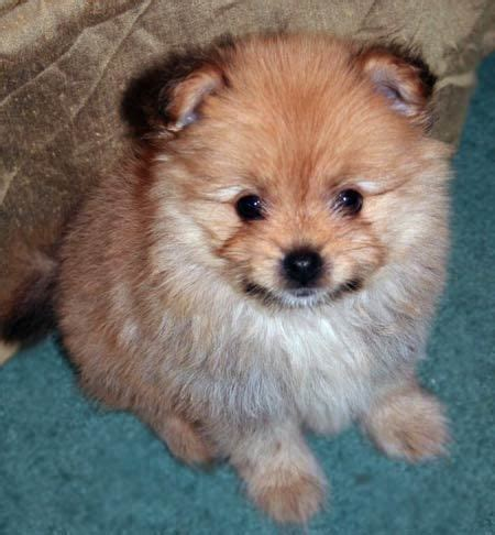 yoranian yorkie pomeranian mix info and pictures