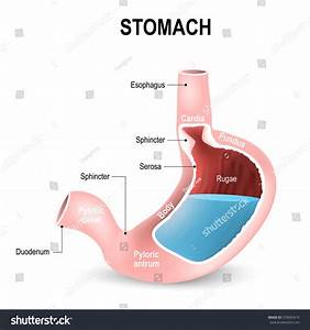 Sections Stomach Parts Regions Duodenum Esophagus Stock