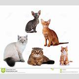 Orange Siberian Kitten | 1300 x 1117 jpeg 111kB