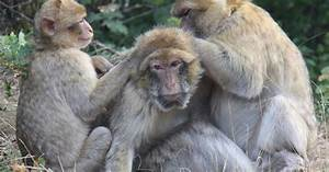 What Old Monkeys And Old Humans Have In Common