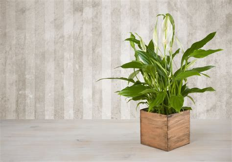 10 Feng Shui Positive Energy Indoor Plants   Lucky Plants