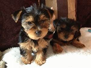 Size of yorkshire terrier litters   Dogs   Pinterest ...