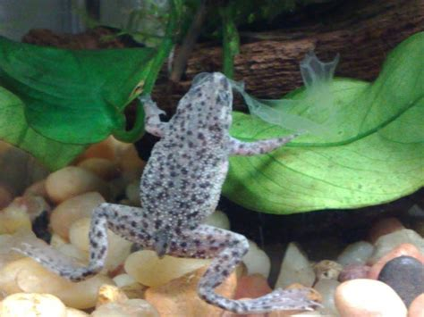17 best images about african dwarf frogs on pinterest
