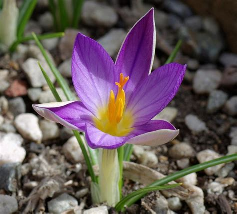 crocus plant care and collection of varieties garden org
