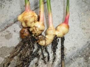 Racine De Gingembre : comment faire pousser du gingembre en pot potager urbain ~ Melissatoandfro.com Idées de Décoration