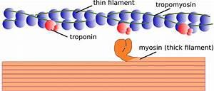 Myofilament