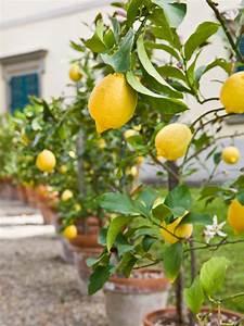 Balkon Bäume Im Topf : obstb ume im topf obstsorten die man in k beln anpflanzen kann ~ Frokenaadalensverden.com Haus und Dekorationen