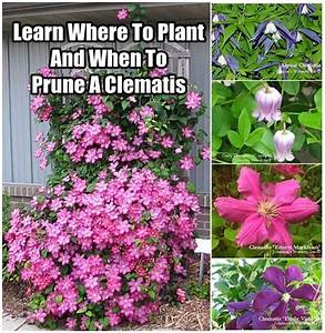 Learn Where To Plant And When To Prune A Clematis - DIY