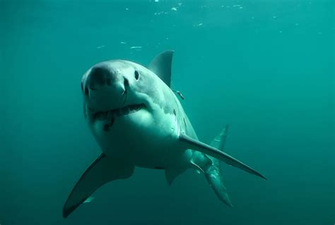 Whites On by Every Shark Is Different Meet The Great Whites That