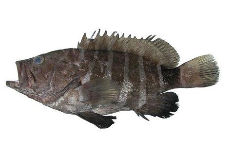 prev species fishesofaustralia