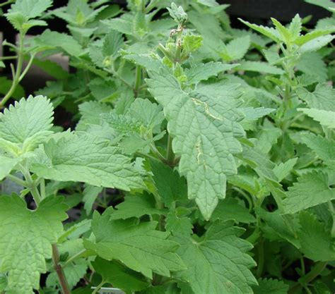 catnip and mosquitoes plants that naturally repel mosquitoes matlacha wellness center