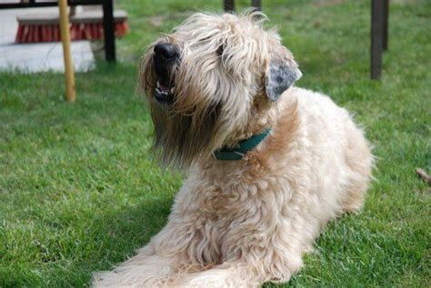 wheaten terriers do they shed soft coated wheaton terrier photo soft coated