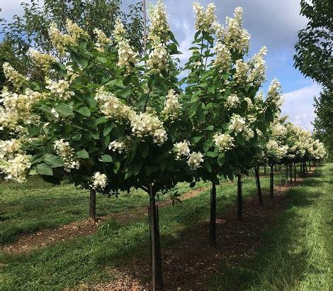 hydrangea paniculata tardiva ruppert nurseries