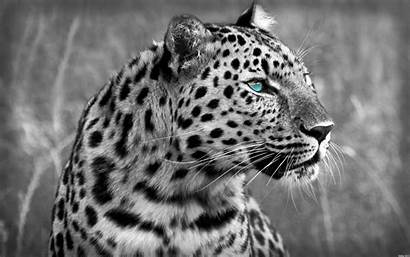 Leopard Wild Animals Cats Wallpapers Leopards Tiger