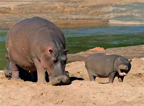 Hippo and Babies Images