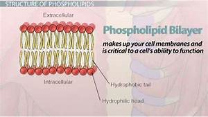 Draw And Label A Phospholipid