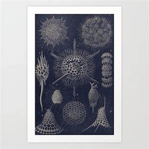 Vintage Radiolaria Diagram Art Print By Bluespecsstudio
