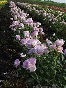 Mainzer Fastnacht Rose : sis si mainzer fastnacht blue monday blue moon bl m ndag mainzer rad navo rose ~ Orissabook.com Haus und Dekorationen