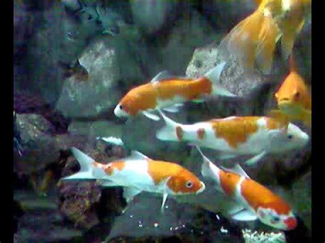 goldfish choi fish angel fish    types