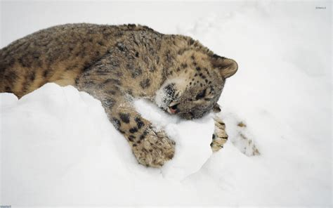 Snow Animal Wallpaper - snow leopard cub with snow wallpaper animal