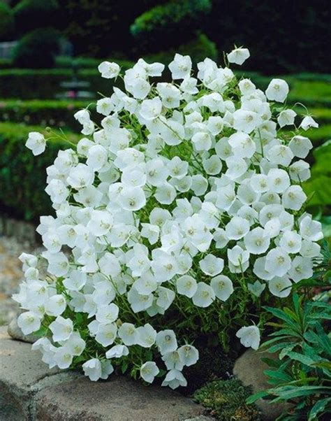 small white border flowers canula easy to grow self seeds plant care is on this post gardening pinterest